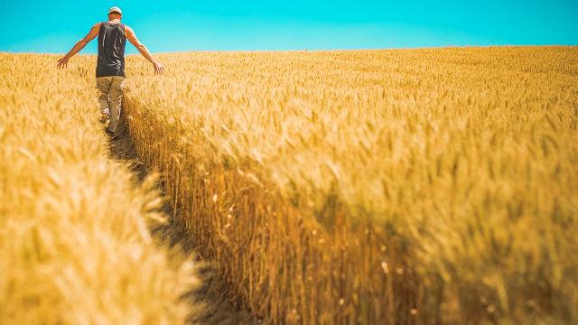 A man walking at wheat field