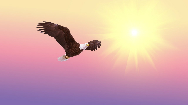 Bald eagle, free, flying